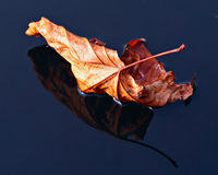 Autumn Leaf. Leaf floating on water with great details royalty free stock image