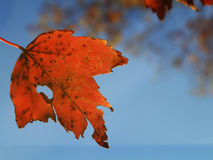 Autumn leaf. Autumn orange leaf about to fall against blue sky with out of focus leaves in background Stock Photos