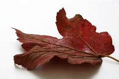 Autumn leaf. Isolated on white Stock Photo