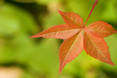Autumn leaf. On blorred green background Stock Photos