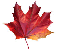 Autumn leaf. Red and yellow maple's leaf over white Stock Images