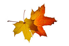 Autumn leaf. Isolated on white background Royalty Free Stock Photography