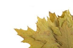 Autumn leaf Royalty Free Stock Photos