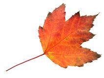 Autumn Leaf. Isolated on a white background Stock Image
