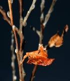 Autumn leaf. Red autum leaf Stock Images