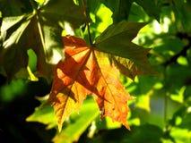 Free Autumn Leaf Royalty Free Stock Photos - 35156298