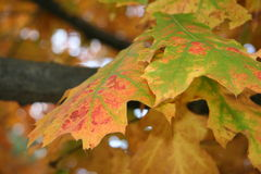 Autumn leaf. This leaf was found in October in the beautiful Northwest United States royalty free stock image