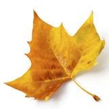 Autumn Leaf Imagen de archivo
