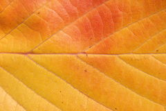 Autumn leaf. Close up of an autumn leaf for a background Royalty Free Stock Photos
