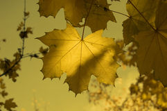 Autumn leaf. Maple leaves on an autumn background Stock Photography