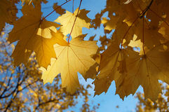 Autumn leaf. Maple leaves on the sky background Royalty Free Stock Images