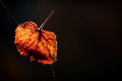 Autumn leaf. Leaf hanging on spider webs Royalty Free Stock Photos