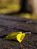 Autumn leaf. A yellow leaf fallen on a wooden picnic table (E-1 + olympus zuiko 50mm F1.4 Stock Images