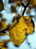 Autumn leaf. Yellow autumn leaves on the tree Stock Photo