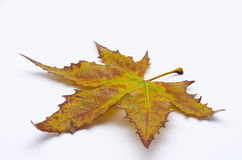 Free Autumn Leaf Royalty Free Stock Images - 46977009