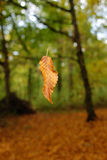 Autumn leaf. A single autumn leaf suspended in midair with forest trees in the background royalty free stock photo