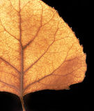 Autumn Leaf. An autumn aspen leaf, illuminated by the afternoon sun, in front of a black background Stock Images