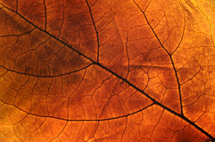 Autumn leaf. Close up photo of an autumn leaf with backlight Stock Image