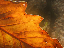 Autumn Leaf. Sunlight through a leaf in the autumn Royalty Free Stock Photo