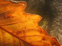 Autumn Leaf Royalty Free Stock Photo