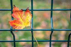 Free Autumn Leaf Royalty Free Stock Images - 57951659
