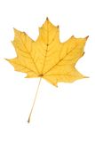 Autumn leaf. An autumn leaf isolated (with clipping path Royalty Free Stock Image