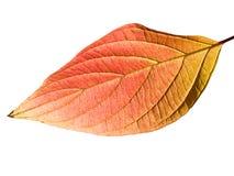 Autumn leaf. Macro of autumn leaf isolated on white Royalty Free Stock Images