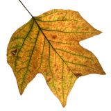 Autumn leaf. That is isolated on a white background stock photo