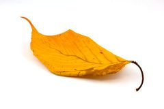 Autumn Leaf. A yellow leaf from a tree in autumn royalty free stock photos