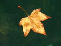 Autumn leaf. A dead leaf floating in water Royalty Free Stock Photography