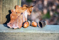 Autumn leaf and acorn Royalty Free Stock Photography