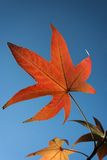 Autumn leaf against the blue s Royalty Free Stock Photo