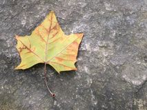 Autumn leaf against concrete background Royalty Free Stock Photo