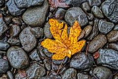 Autumn Leaf Along The Creek Stockbild