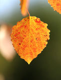Autumn leaf aspen Stock Photo