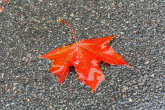 Autumn leaf on the asphalt Royalty Free Stock Image