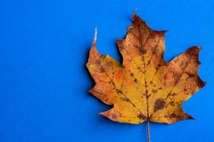 Autumn yellow leaf on blue background stock photography