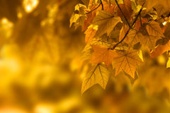 Autumn leaf background. Orange autumn orange color background Royalty Free Stock Photos