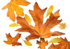 Autumn leaf background Royalty Free Stock Image