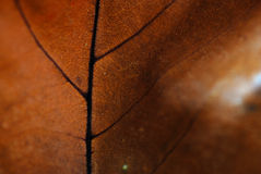 Autumn leaf background. With brown red colors extreme close up Royalty Free Stock Images