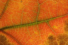 Autumn Leaf Background. Macro of an autumn/fall leaf for background Stock Image