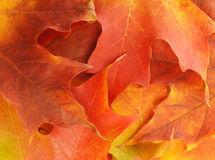 Autumn leaf background Royalty Free Stock Image