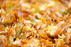 Autumn leaf background Royalty Free Stock Photo