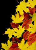 Autumn leaf background. Black. Autumn background from different maple leaves. Black Stock Images