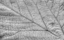 Autumn leaf background in black and white Royalty Free Stock Image