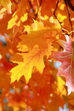 Autumn leaf background - Stock Photos Royalty Free Stock Photos