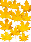 Autumn leaf background. White. Autumn background from different maple leaves. White Stock Images