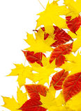 Autumn leaf background. White. Autumn background from different maple leaves. White Stock Image