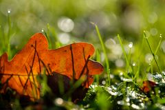 Autumn leaf in backlight with bokeh an focus on foreground. Autumn leaf on green meadow in backlight with bokeh an focus on foreground Royalty Free Stock Images