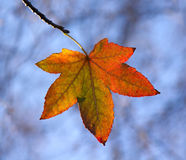 Autumn Leaf Backlit Royalty Free Stock Photos